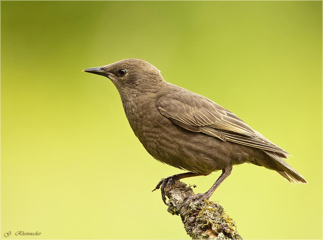 star jungvogel bilder