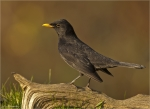 Amsel-common_blackbird-maennlich-04_11_2017.jpg