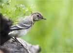 Bachstelze-Jungvogel-white_wagtail-04_06_2016.jpg