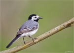 Bachstelze-white_wagtail-17_04_2015.jpg