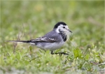 Bachstelze-white_wagtail.jpg