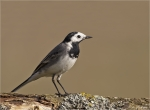 Bachstelze-white_wagtail_2014.jpg