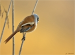 Bartmeise-bearded_tit-male.jpg