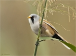 Bartmeise-male-bearded_tit-im_Schilf.jpg