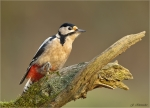 Buntspecht-Great_Spotted_Woodpecker-23_10_2017.jpg