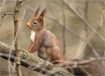 Eichhoernchen-red_squirrel.jpg