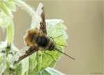 Grosser_Wollschweber-Bombylius_major-10_April_2017.jpg