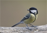 Kohlmeise-great_tit.jpg