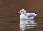 Lachmoewe_im_Schlichtkleid-black-headed_gull.jpg