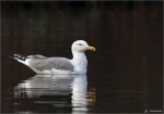Mittelmeermoewe-yellow_legged_gull.jpg