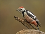 Mittelspecht-middle_spotted_woodpecker-15_11_2017.jpg