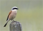 Neuntoeter-red-backed_shrike.jpg