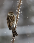 Rohrammer-reed_bunting.jpg