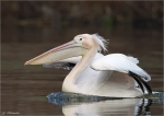 Rosapelikan-Great_White_Pelican.jpg