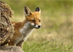 Rotfuchs-red_fox-August_2016-Jungtier.jpg