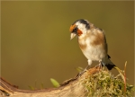 Stieglitz-european_goldfinch-26_09_2017.jpg