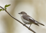 Trauerschnaepper-European_Pied_Flycatcher.jpg