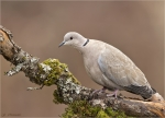 Tuerkentaube-collared_dove-09_Februar_2017.jpg