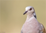 Turteltaube-turtle_dove-Portrait.jpg
