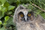Waldohreule-long-eared_owl.jpg