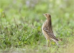 Wiesenpieper-Meadow_Pipit-September_2015.jpg